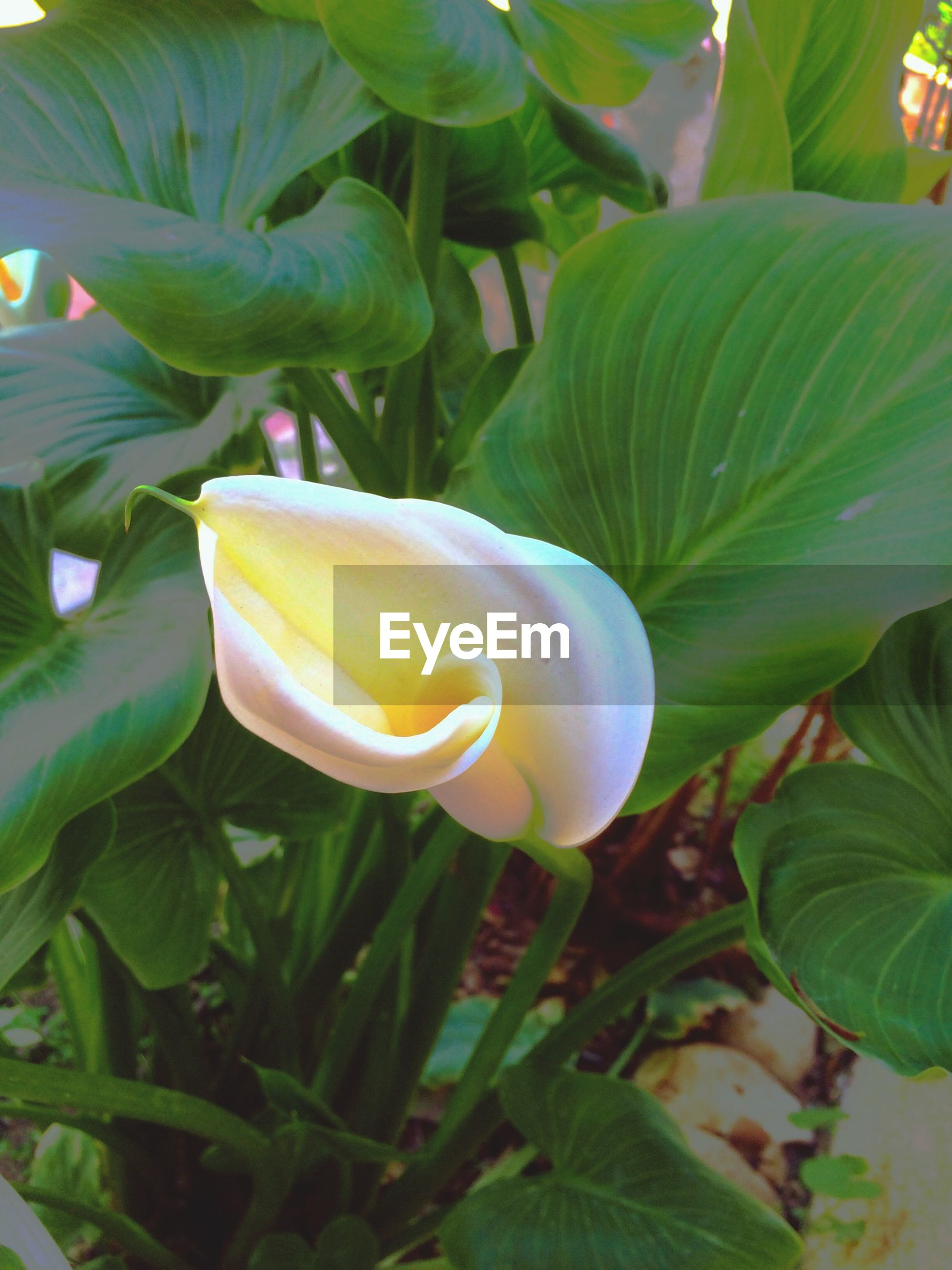 freshness, flower, leaf, growth, petal, flower head, green color, plant, fragility, beauty in nature, close-up, nature, single flower, blooming, yellow, day, no people, outdoors, rose - flower, tulip