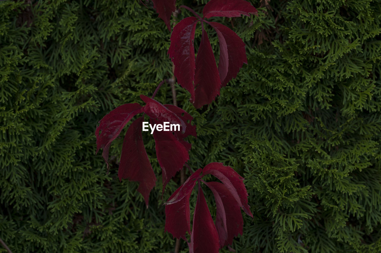 HIGH ANGLE VIEW OF FRESH RED LEAVES ON TREES