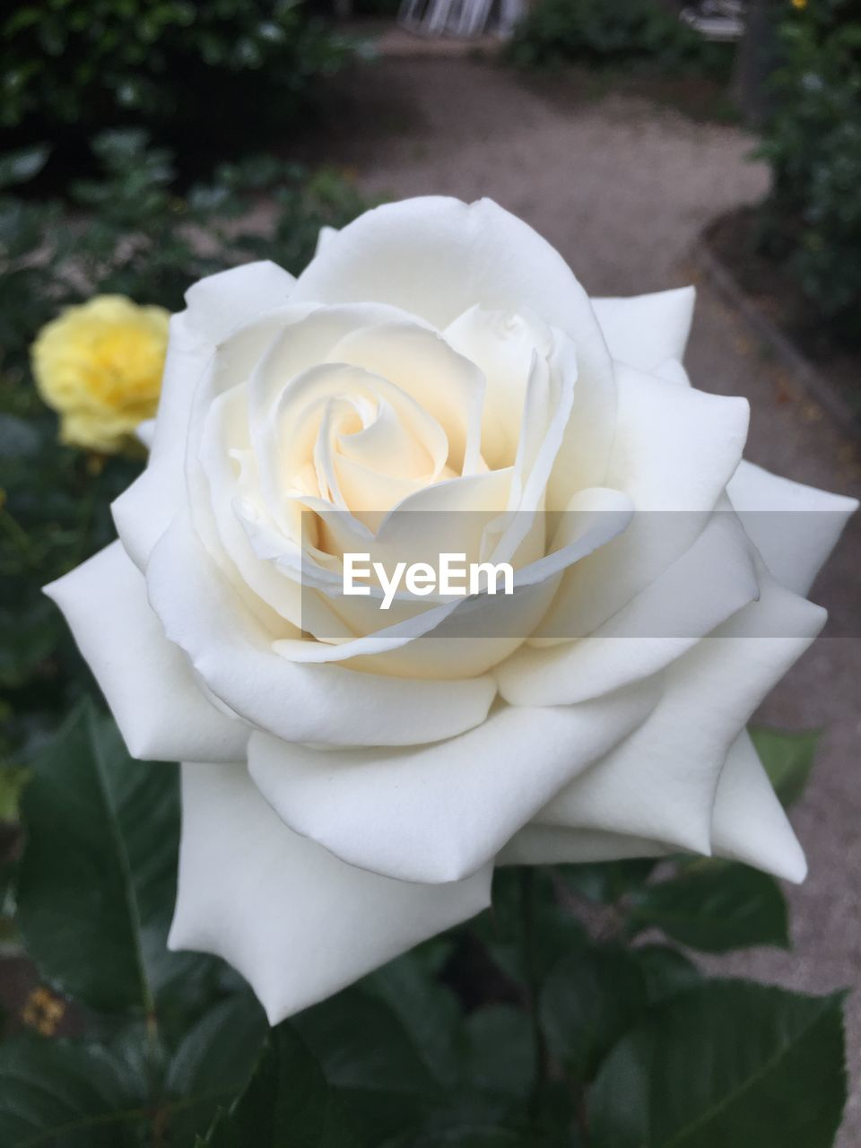 flower, petal, white color, fragility, flower head, rose - flower, nature, growth, beauty in nature, plant, close-up, freshness, no people, day, focus on foreground, outdoors, blooming