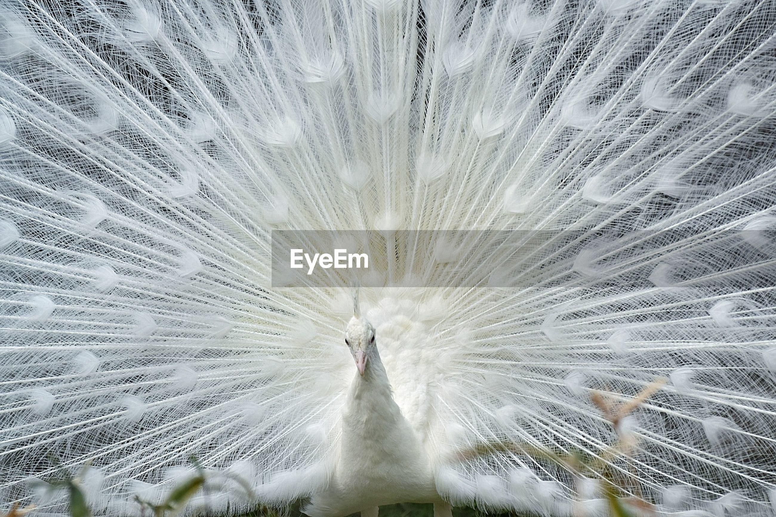 Full frame shot of white peacock