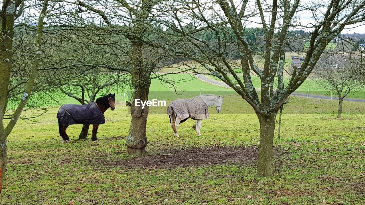 tree, bare tree, mammal, animal themes, field, domestic animals, no people, nature, livestock, branch, outdoors, day, grass