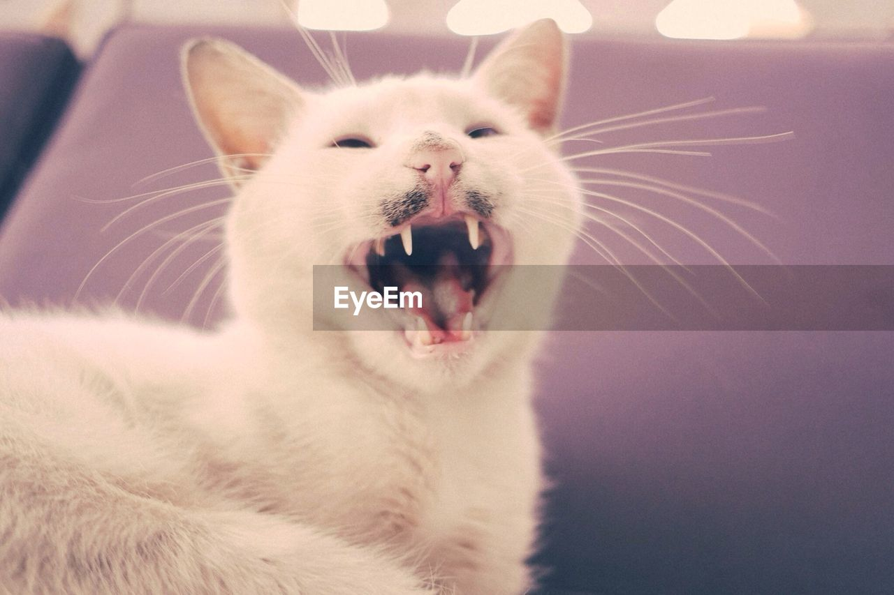 Close-up of white cat yawning over pink blurred background