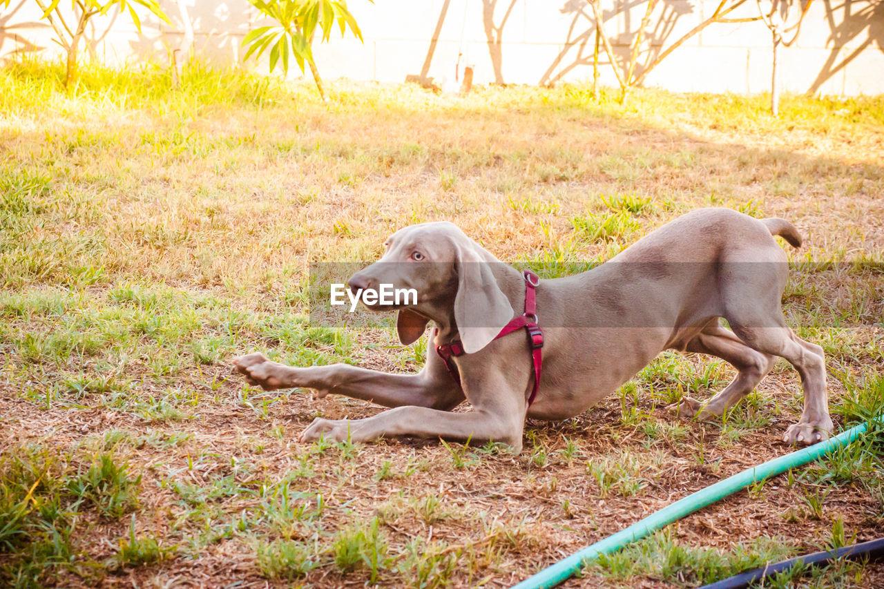 Dog Stretching On Field