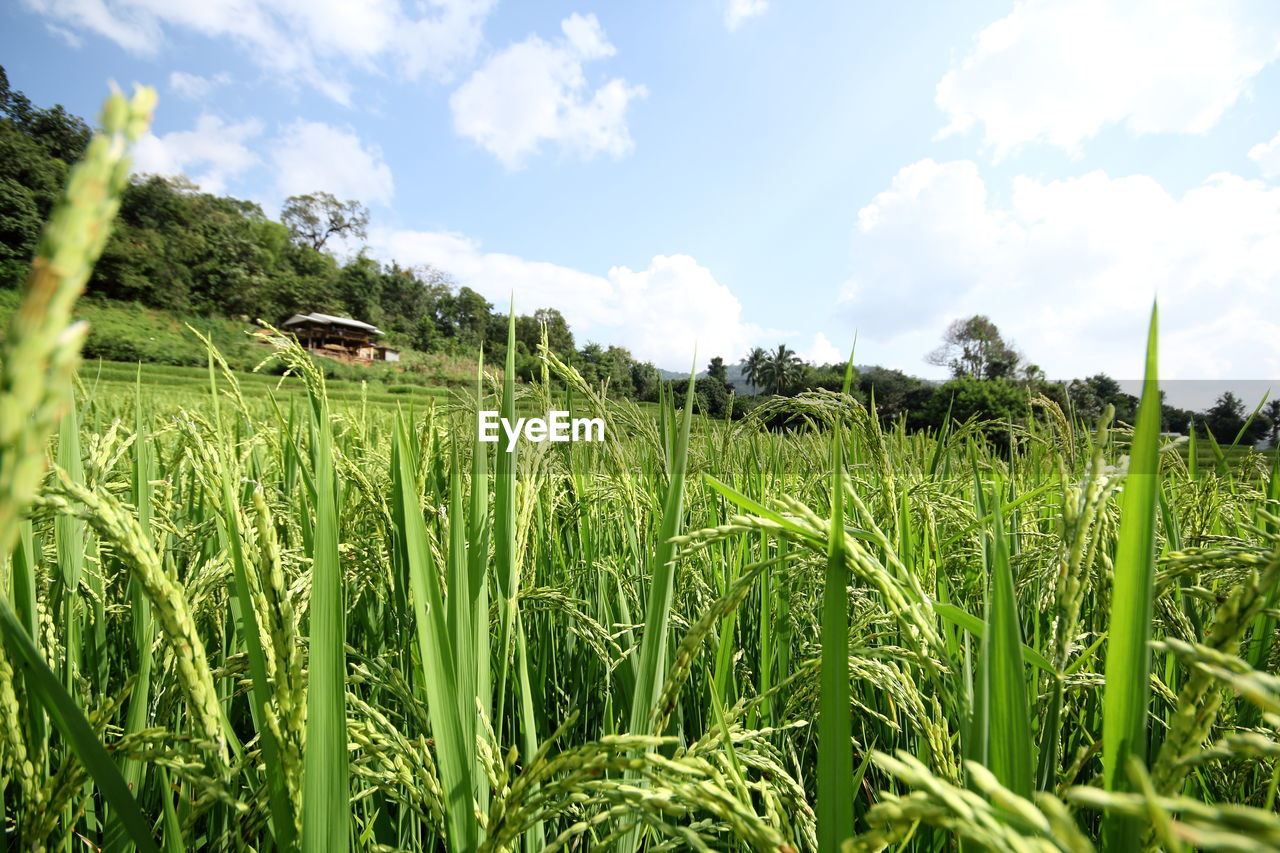 growth, green color, nature, agriculture, field, tranquility, cloud - sky, sky, tranquil scene, beauty in nature, grass, day, no people, crop, outdoors, rural scene, landscape, scenics, plant, tree, rice paddy, freshness, close-up
