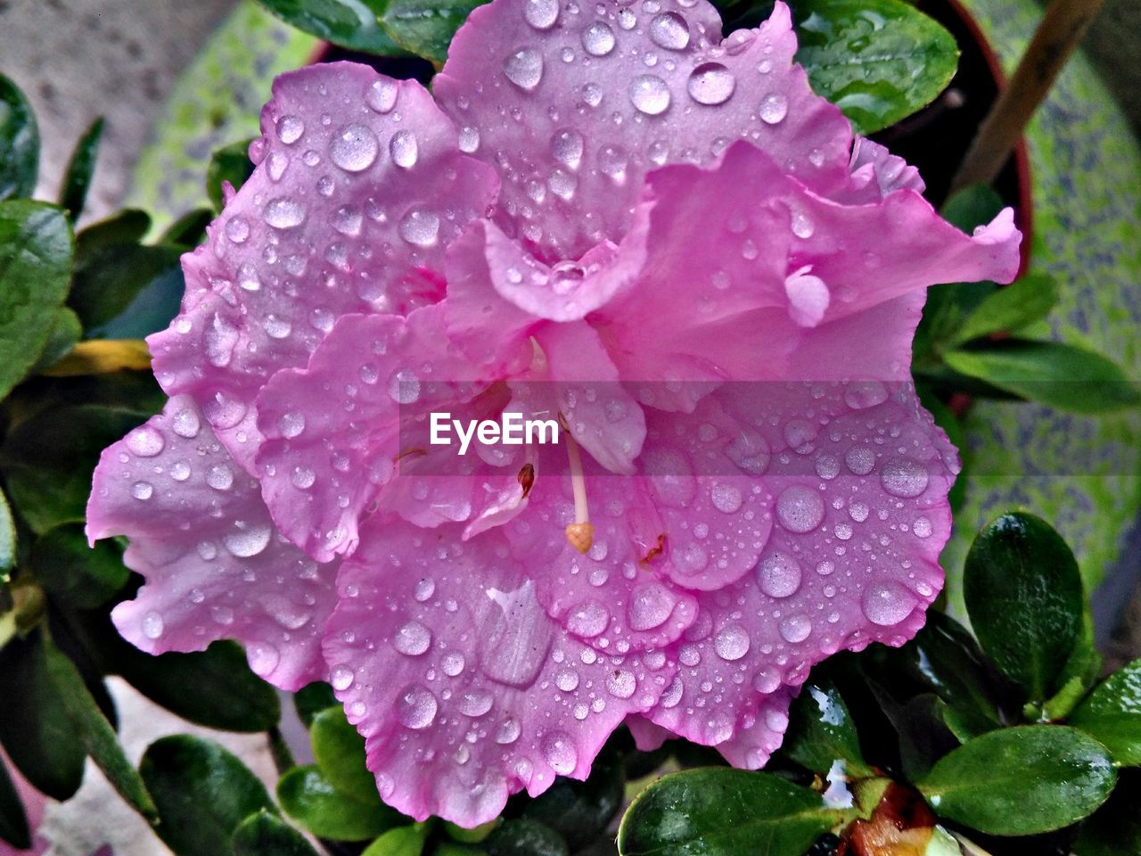 drop, water, wet, growth, raindrop, leaf, nature, petal, beauty in nature, freshness, no people, day, fragility, outdoors, plant, pink color, close-up, flower, blooming, flower head, periwinkle