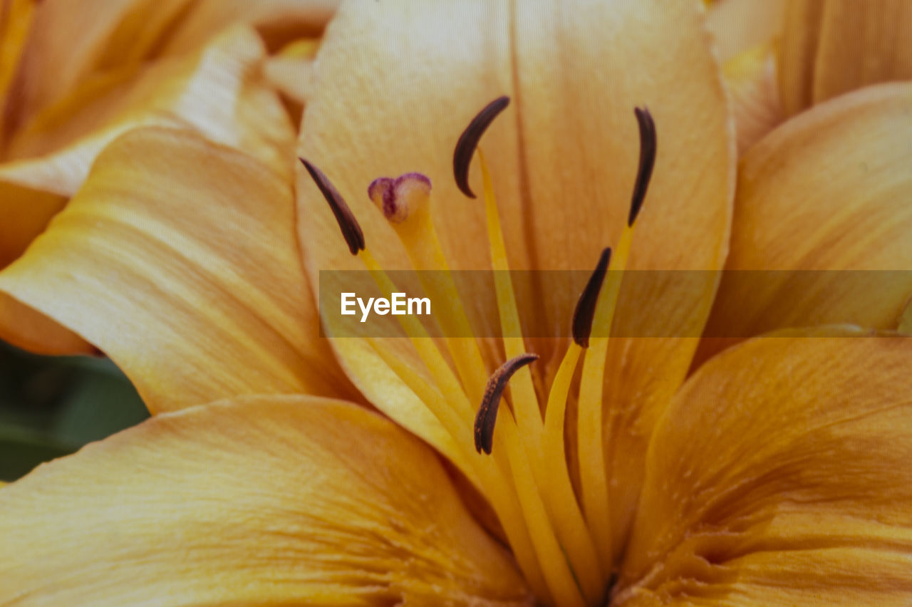 flower, flowering plant, petal, flower head, freshness, close-up, vulnerability, beauty in nature, inflorescence, fragility, plant, growth, pollen, full frame, yellow, no people, lily, backgrounds, nature, softness