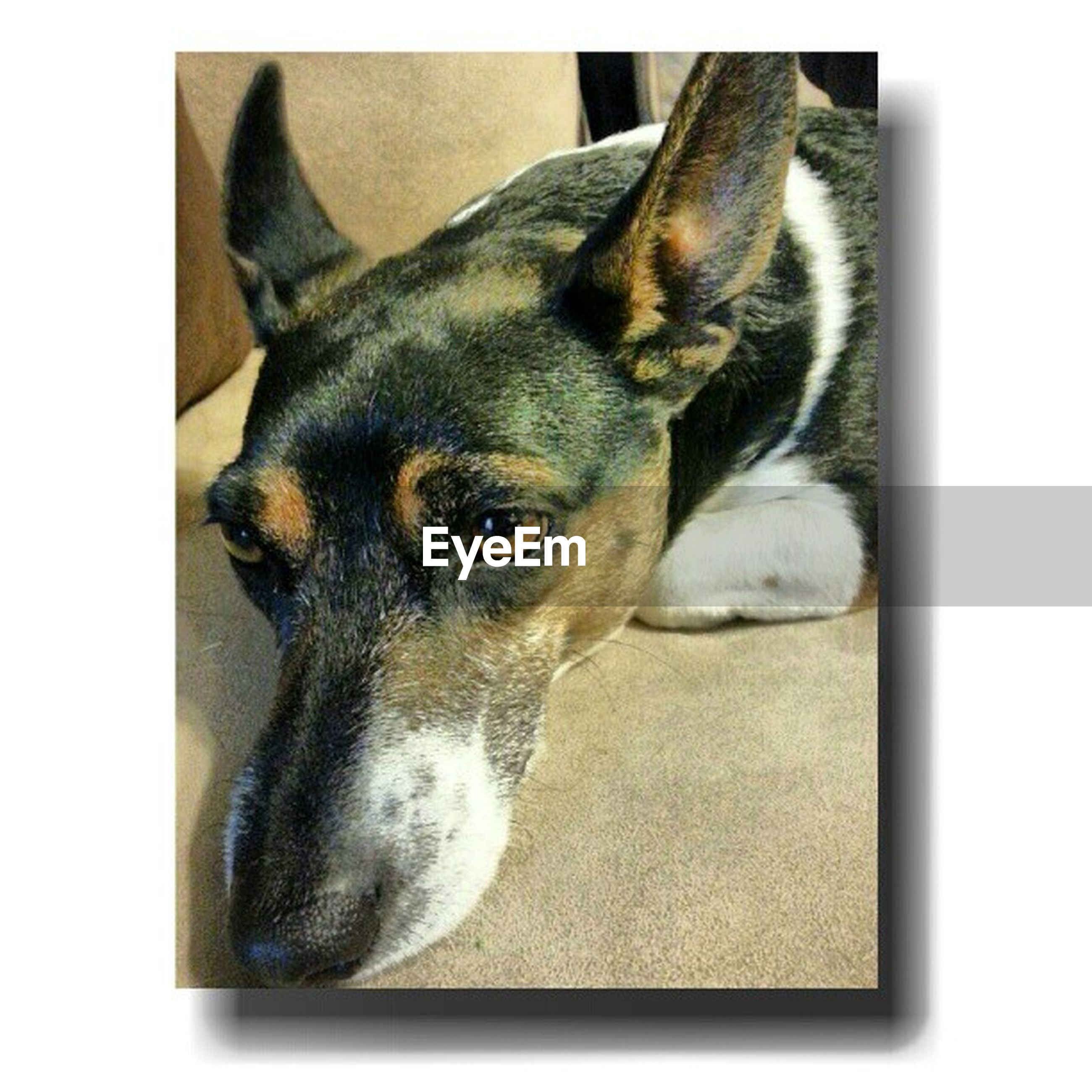 transfer print, one animal, animal themes, pets, auto post production filter, domestic animals, mammal, dog, indoors, animal head, close-up, relaxation, zoology, black color, vertebrate, animal body part, no people, lying down, animal, looking at camera