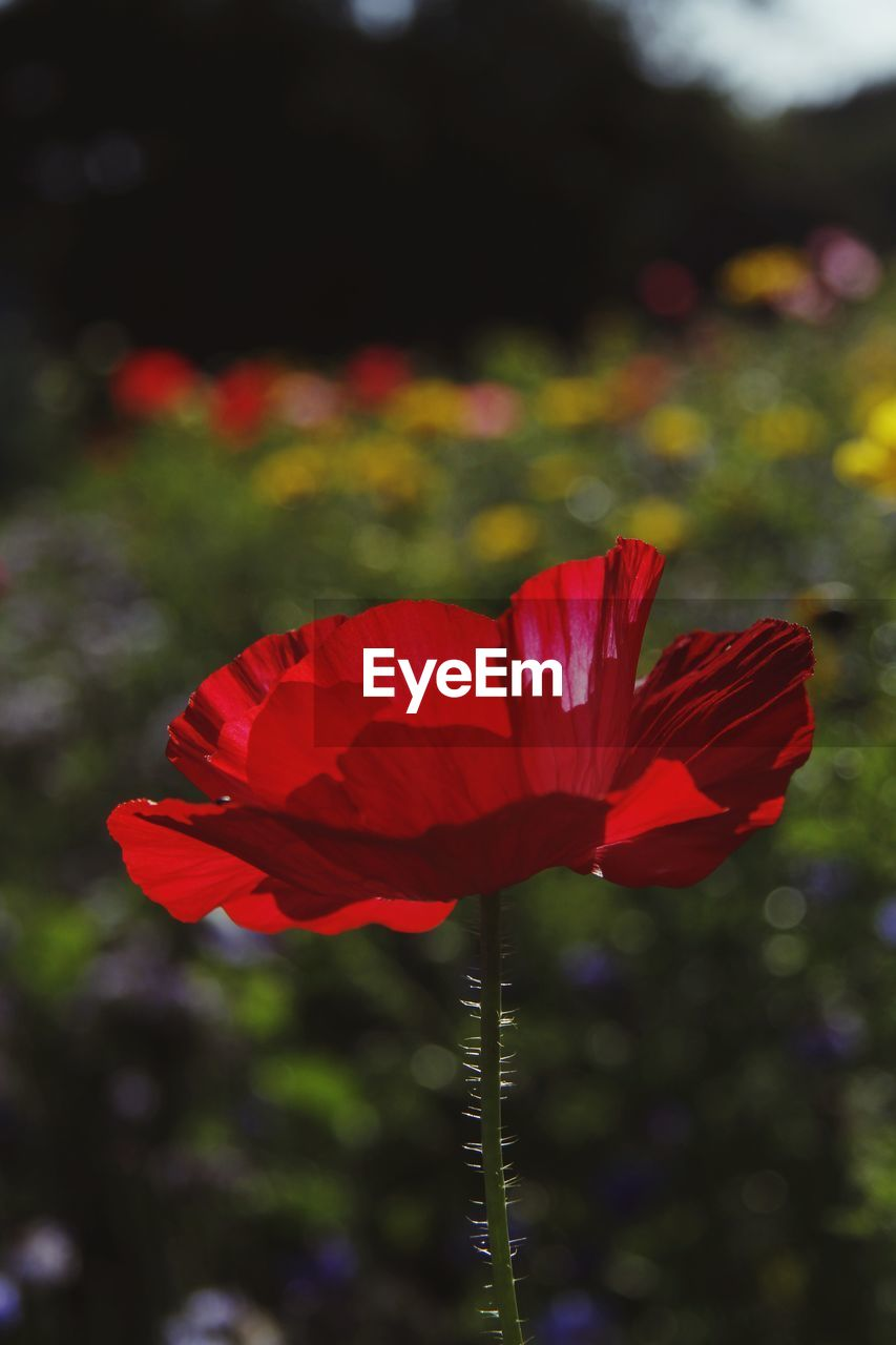 flowering plant, flower, fragility, vulnerability, freshness, petal, beauty in nature, plant, red, close-up, flower head, inflorescence, growth, focus on foreground, nature, no people, day, plant stem, outdoors, pollen, sepal