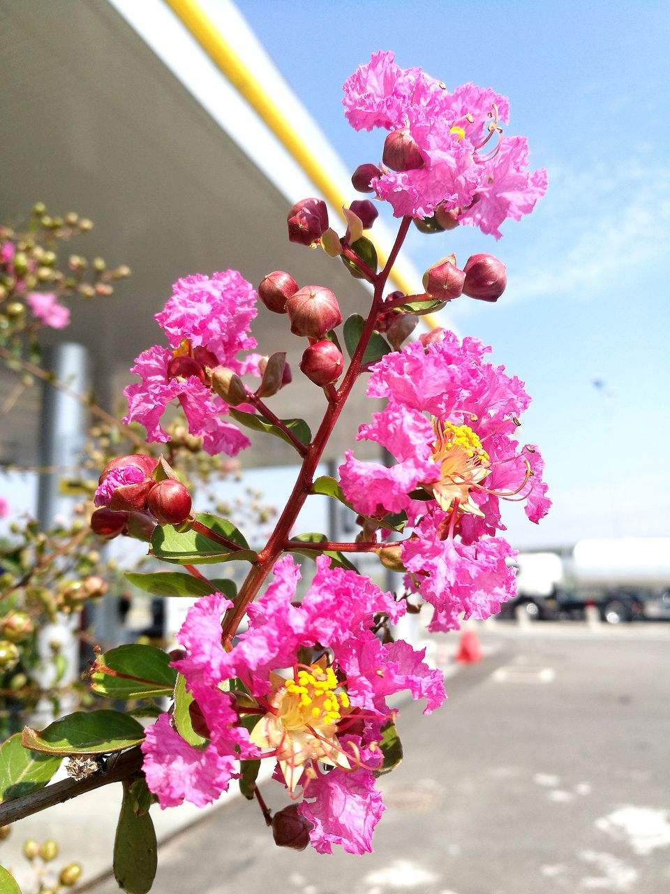 flowering plant, flower, plant, freshness, pink color, fragility, beauty in nature, growth, vulnerability, close-up, petal, focus on foreground, nature, blossom, no people, day, flower head, inflorescence, architecture, springtime, outdoors, pollen, cherry blossom, lantana, cherry tree, purple