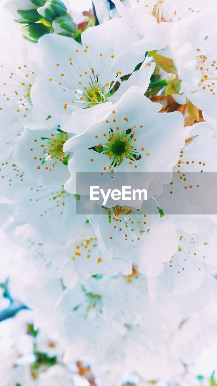Full Frame Shot Of White Cherry Blossoms