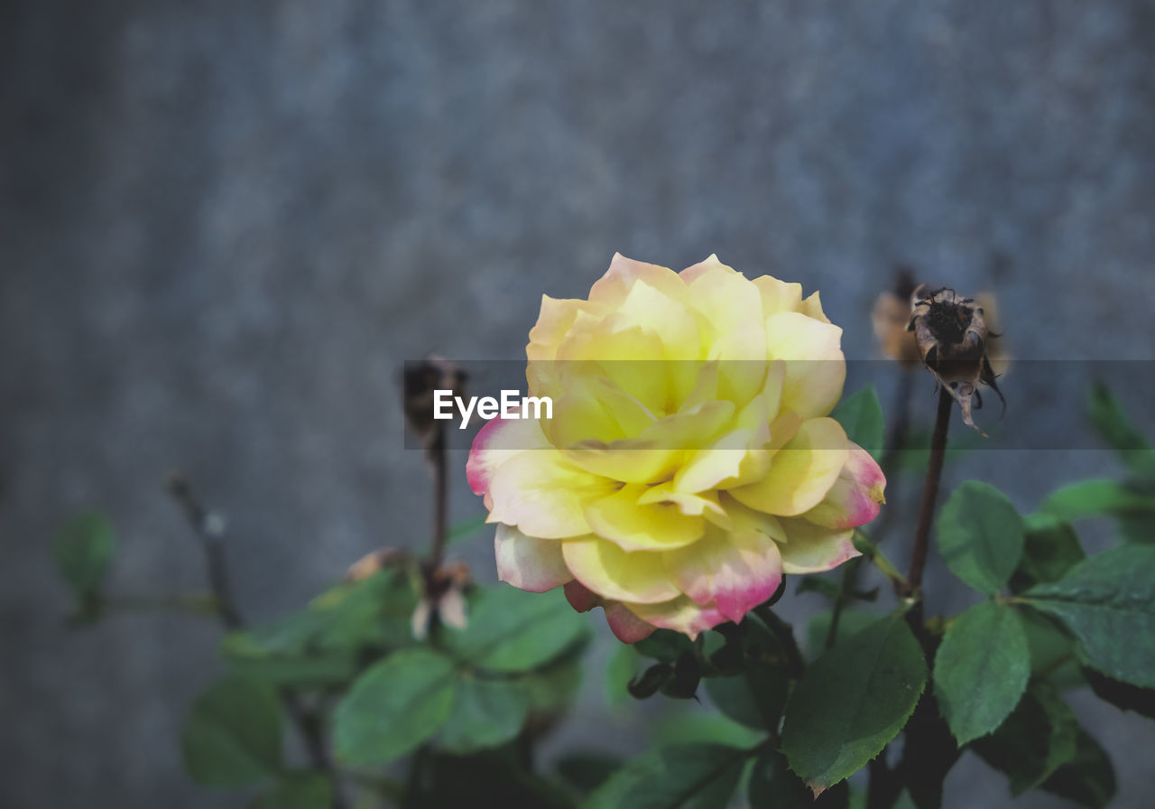flower, petal, fragility, flower head, nature, growth, freshness, beauty in nature, plant, animal themes, one animal, day, outdoors, yellow, focus on foreground, no people, insect, animals in the wild, rose - flower, close-up, blooming, leaf, bee, buzzing