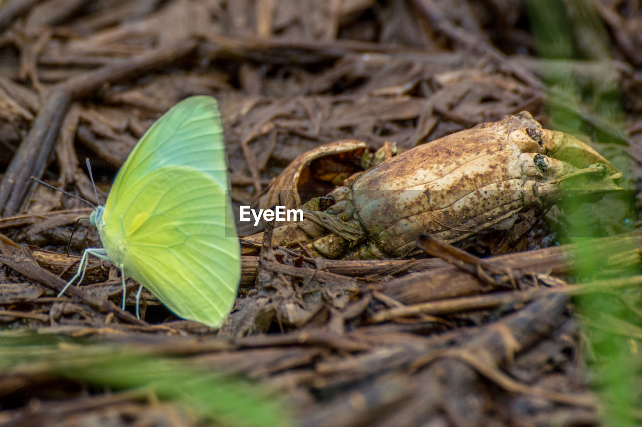 Green Butterfly On Dried Plant