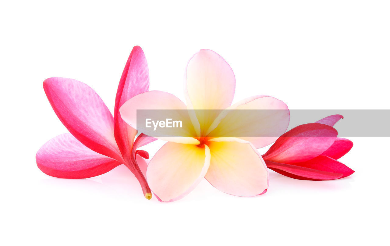 white background, studio shot, flower, flowering plant, freshness, close-up, beauty in nature, petal, vulnerability, fragility, plant, flower head, pink color, inflorescence, cut out, no people, indoors, nature, frangipani