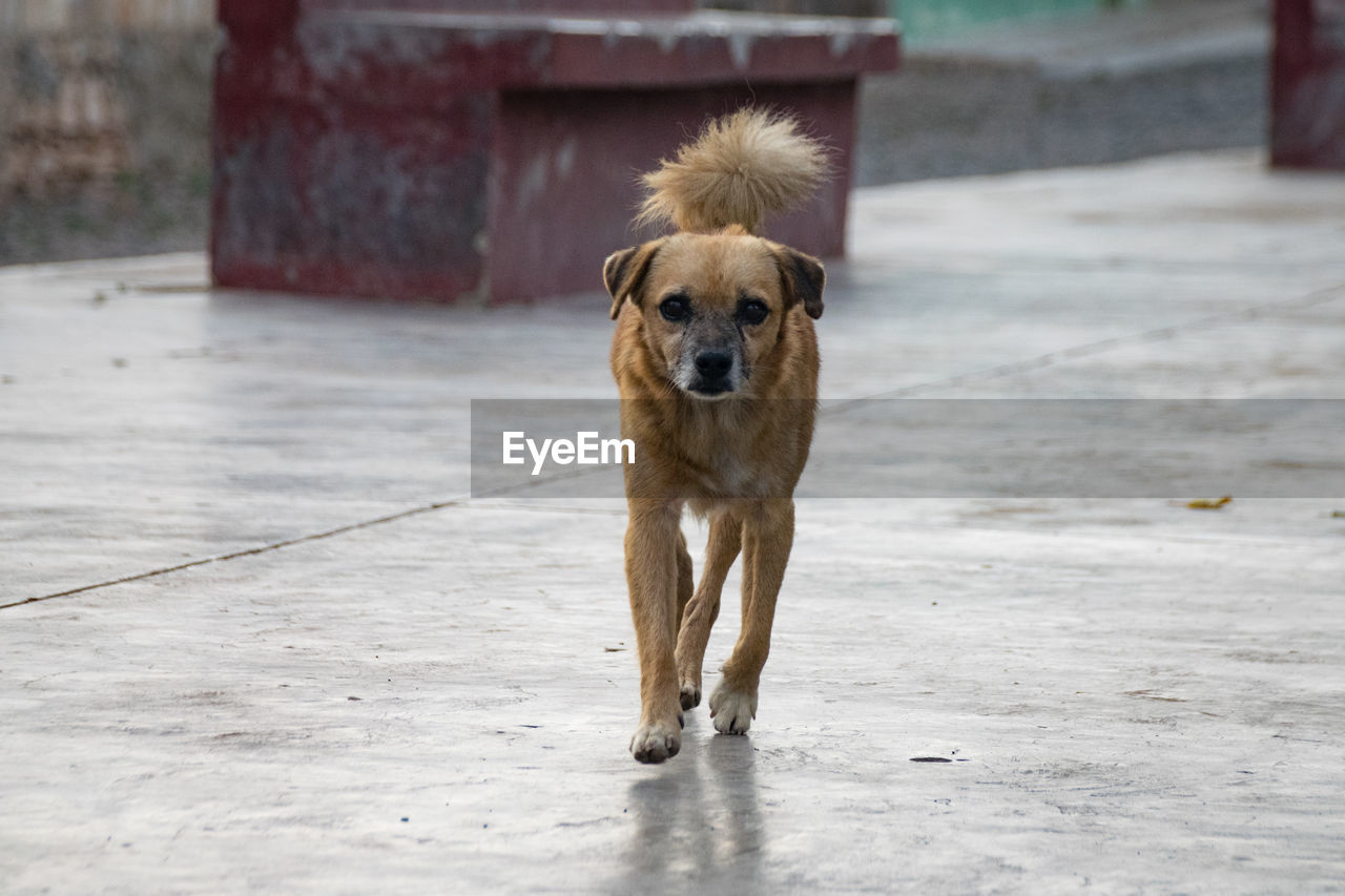 one animal, mammal, animal themes, animal, canine, dog, domestic animals, pets, domestic, vertebrate, day, no people, focus on foreground, looking at camera, portrait, full length, footpath, city, street, outdoors