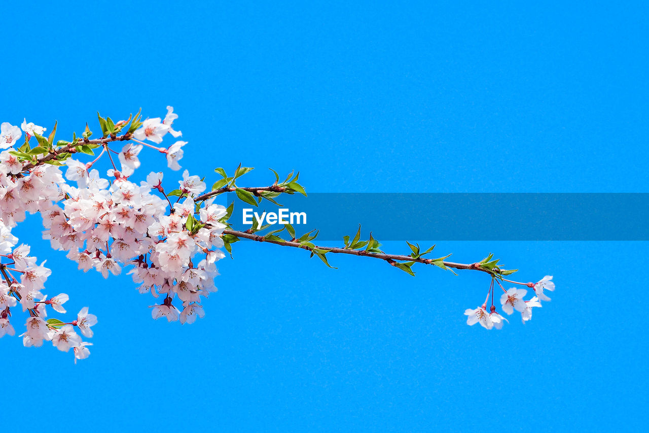 blue, sky, flower, flowering plant, plant, beauty in nature, low angle view, fragility, clear sky, growth, vulnerability, nature, freshness, copy space, tree, no people, day, branch, springtime, petal, outdoors, cherry blossom, flower head, cherry tree