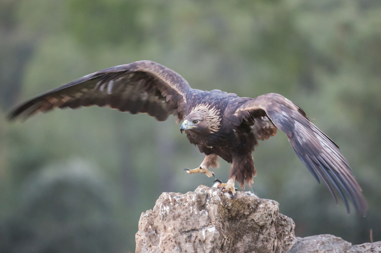 animal, animal themes, animal wildlife, animals in the wild, bird, vertebrate, spread wings, flying, one animal, focus on foreground, no people, bird of prey, nature, day, mid-air, outdoors, rock, rock - object, solid, zoology, animal wing, eagle