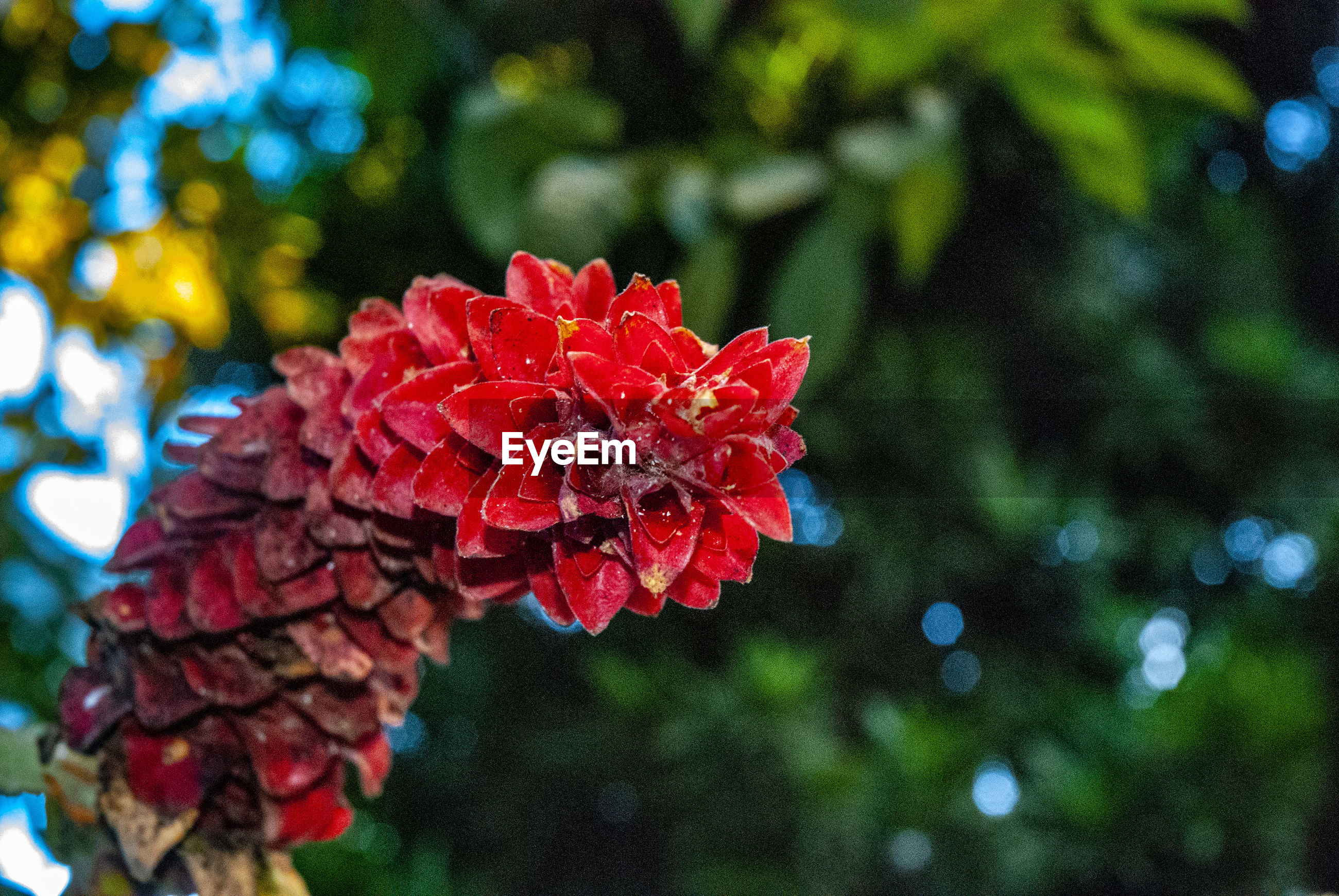 CLOSE-UP OF RED FLOWERING PLANT AGAINST TREES