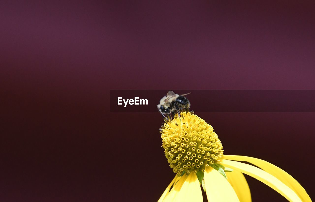 flower, flowering plant, one animal, animal themes, animal wildlife, animal, insect, invertebrate, flower head, petal, fragility, animals in the wild, yellow, close-up, beauty in nature, vulnerability, bee, plant, copy space, freshness, no people, pollination, pollen