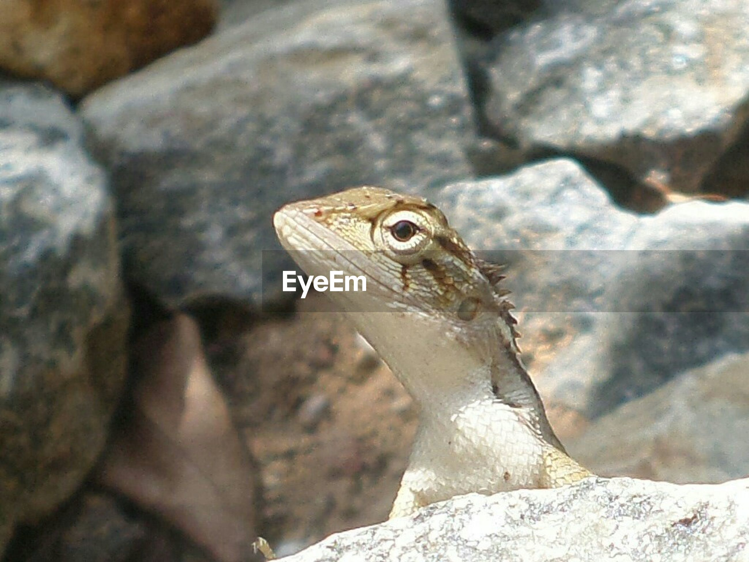 one animal, reptile, animal themes, rock - object, animals in the wild, animal wildlife, nature, lizard, outdoors, close-up, no people, day