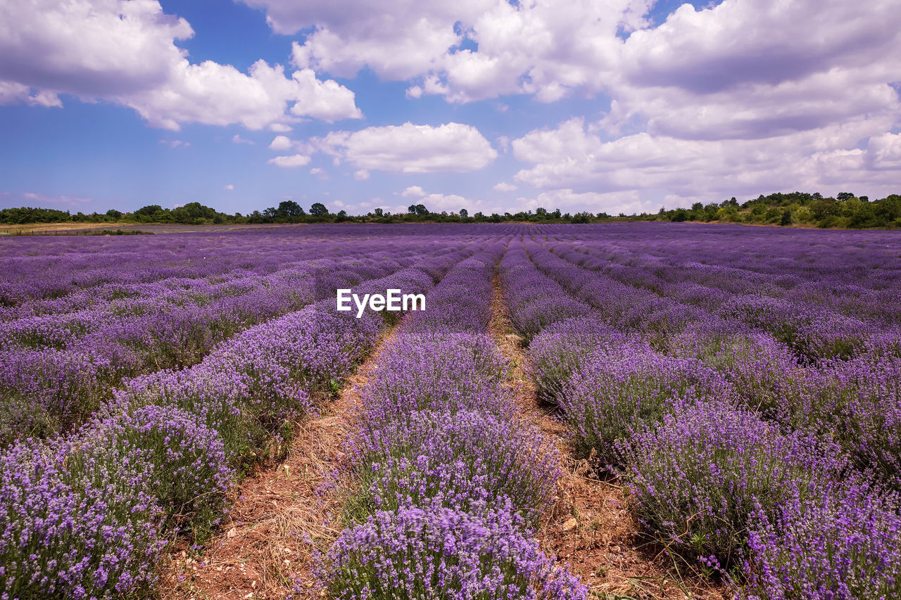 beauty in nature, purple, flower, plant, land, cloud - sky, field, landscape, flowering plant, sky, lavender, growth, agriculture, scenics - nature, environment, nature, tranquil scene, tranquility, lavender colored, rural scene, farm, no people, flowerbed