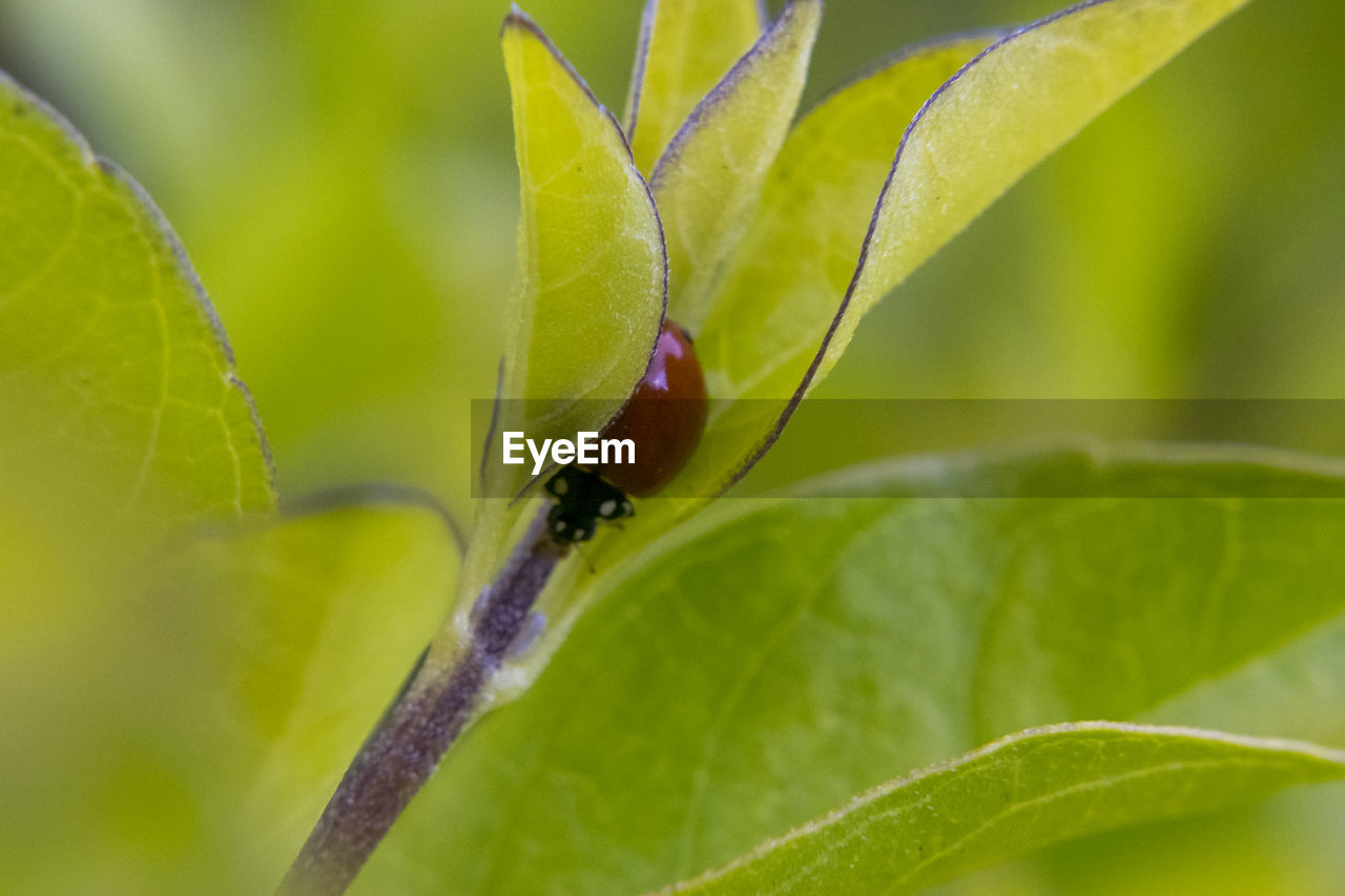 leaf, one animal, insect, animals in the wild, animal themes, growth, plant, close-up, green color, nature, no people, fragility, day, animal wildlife, tiny, outdoors, beauty in nature, ladybug, freshness