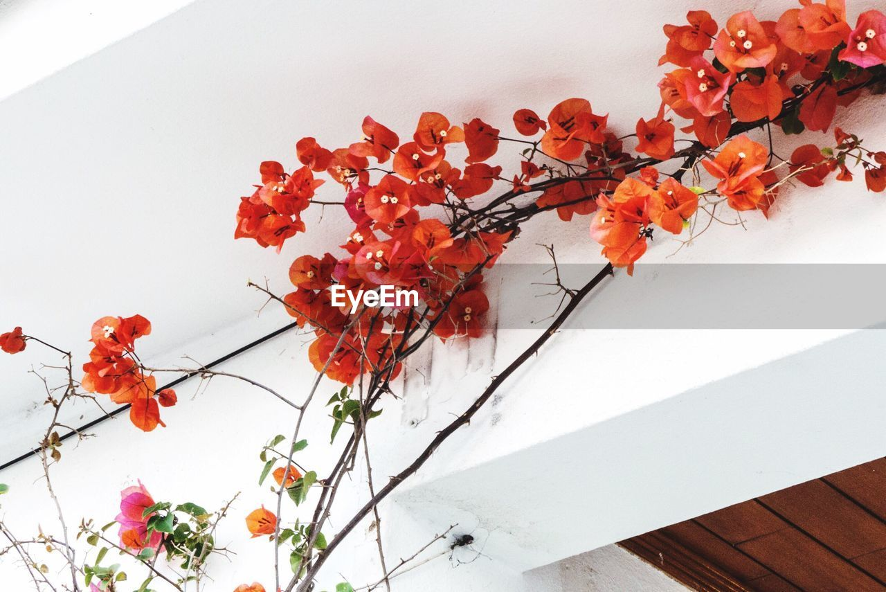 plant, flower, flowering plant, red, nature, freshness, orange color, no people, growth, fragility, white color, beauty in nature, vulnerability, high angle view, table, indoors, close-up, food, wall - building feature, flower head