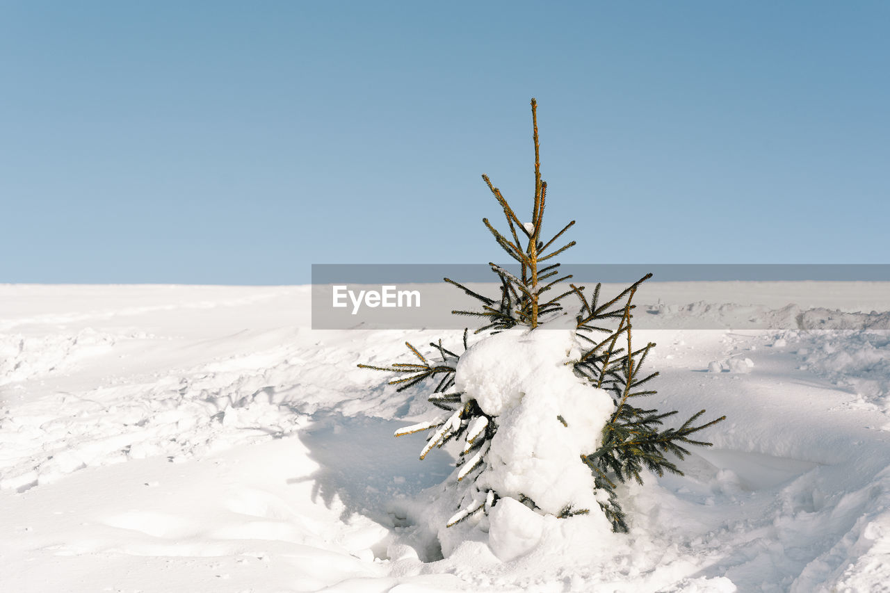 Single pine tree on snow covered land against clear sky
