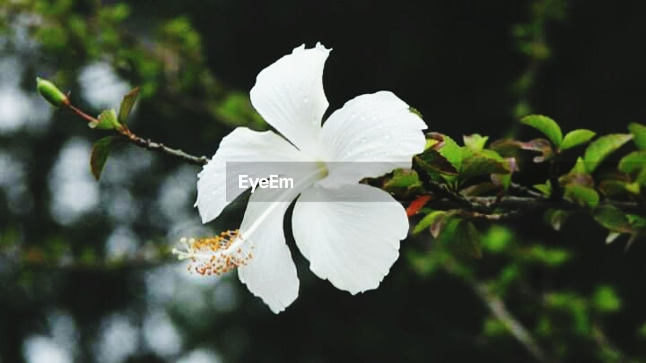 white color, flower, petal, fragility, close-up, nature, flower head, growth, blossom, focus on foreground, springtime, beauty in nature, day, branch, twig, no people, freshness, outdoors, stamen, tree, hibiscus, periwinkle