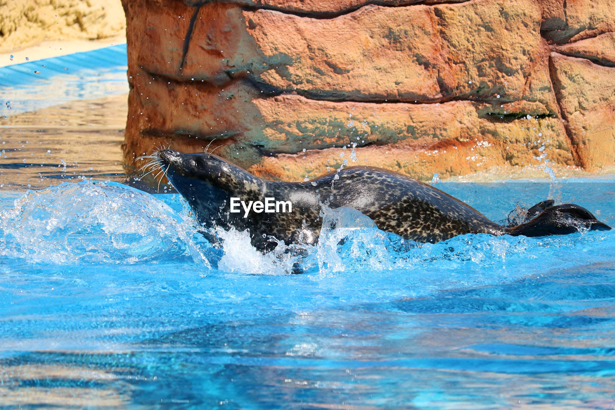 View of seal in swimming pool