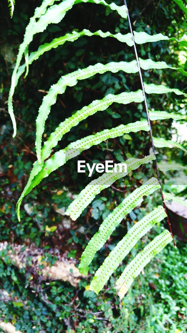 green color, growth, plant, nature, fern, tendril, leaf, focus on foreground, no people, close-up, day, outdoors, spiral, beauty in nature, frond, hanging, fragility, freshness
