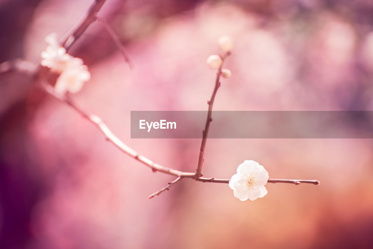 fragility, vulnerability, beauty in nature, close-up, plant, flower, focus on foreground, selective focus, flowering plant, no people, freshness, nature, growth, day, twig, outdoors, white color, bud, tranquility, softness, springtime, cotton plant, plum blossom, flower head