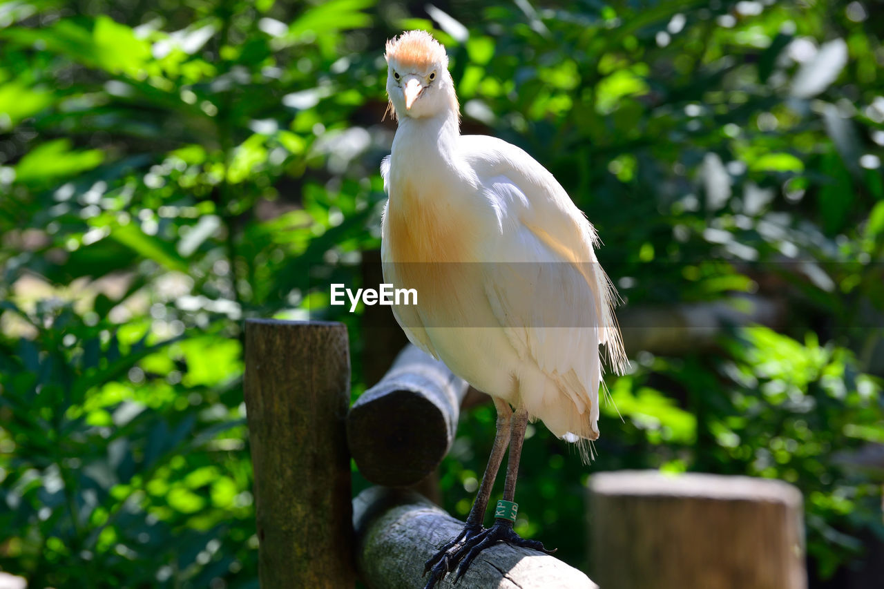 Cattle egret perching on wood against plants