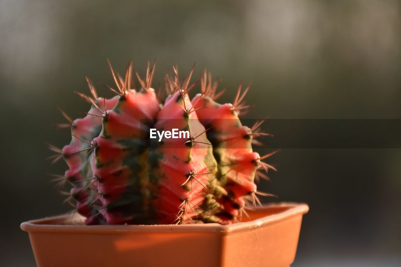 succulent plant, cactus, potted plant, thorn, plant, close-up, spiked, growth, no people, sharp, focus on foreground, beauty in nature, nature, day, selective focus, warning sign, green color, sign, outdoors, flower, flower pot, houseplant, coniferous tree