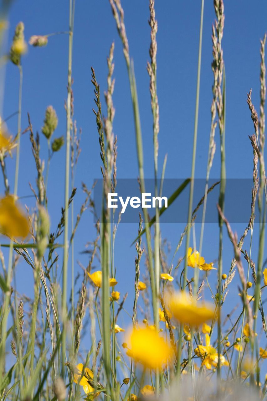Low angle view of fresh crop plants amidst yellow flowers against clear sky