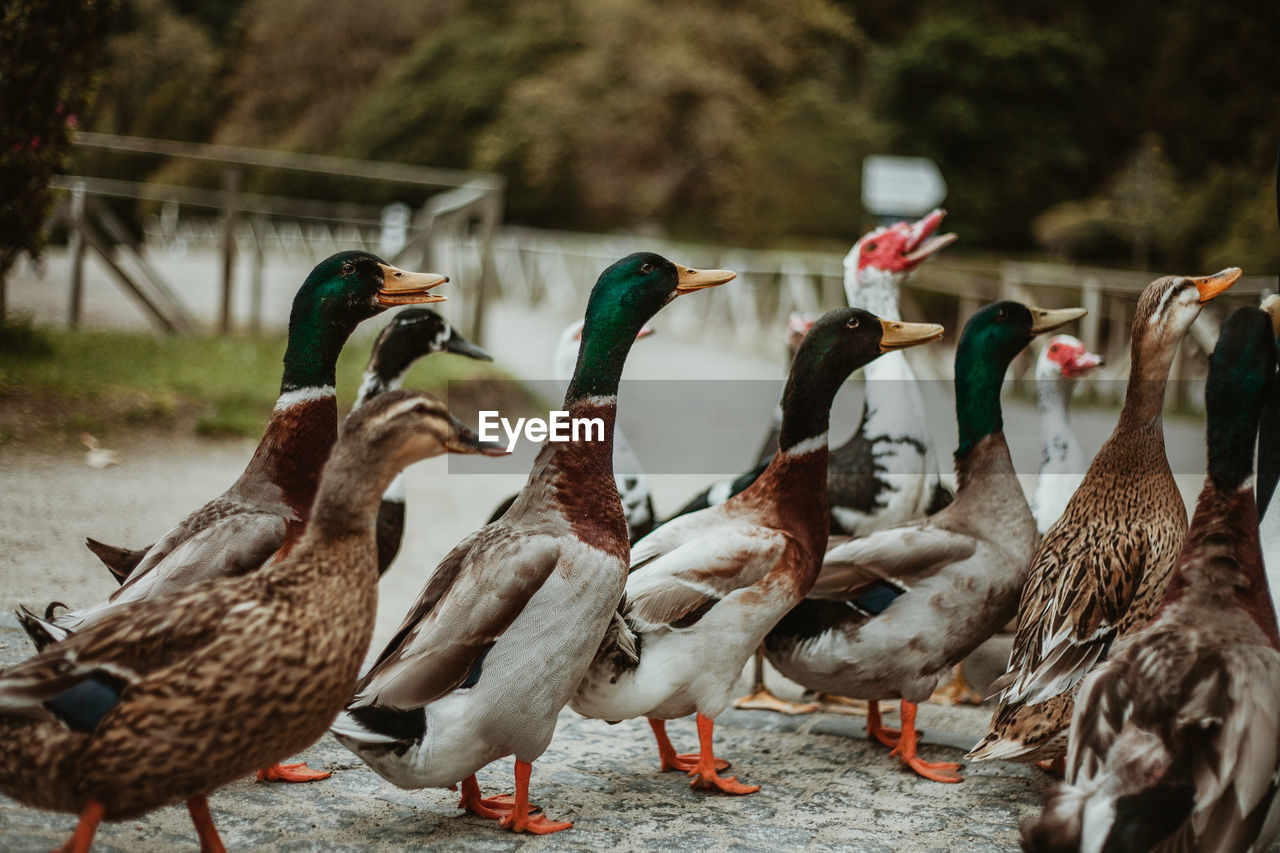 bird, animal themes, group of animals, animal, vertebrate, animals in the wild, animal wildlife, no people, focus on foreground, nature, day, large group of animals, poultry, duck, outdoors, land, selective focus, male animal, panoramic, flock of birds