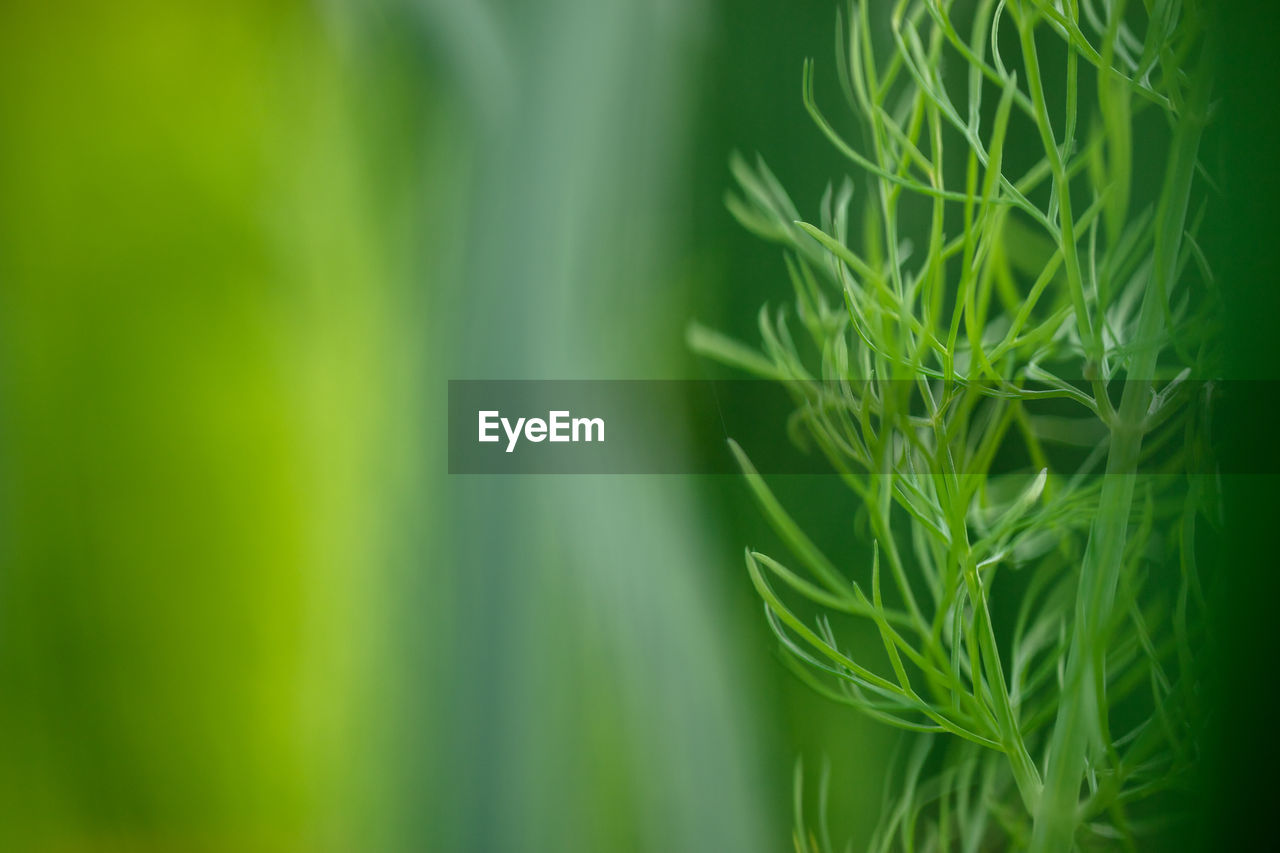 green color, plant, growth, beauty in nature, nature, selective focus, close-up, plant part, no people, leaf, day, freshness, agriculture, outdoors, land, vulnerability, food and drink, tranquility, fragility, vegetable, blade of grass, bamboo - plant