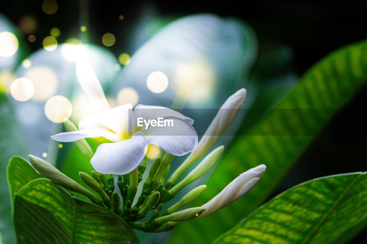 plant, beauty in nature, flower, flowering plant, freshness, close-up, vulnerability, growth, fragility, petal, plant part, leaf, green color, nature, inflorescence, no people, flower head, focus on foreground, white color, selective focus