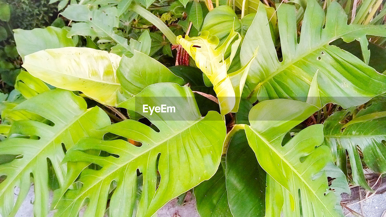 green color, leaf, growth, plant, freshness, nature, no people, beauty in nature, outdoors, close-up, day, banana tree, banana leaf, food, healthy eating, flower, fragility, flower head