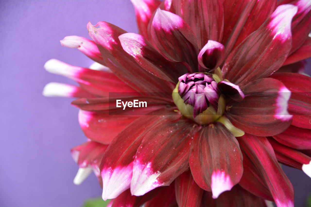 flower, petal, pink color, no people, close-up, fragility, beauty in nature, flower head, nature, outdoors, freshness, day