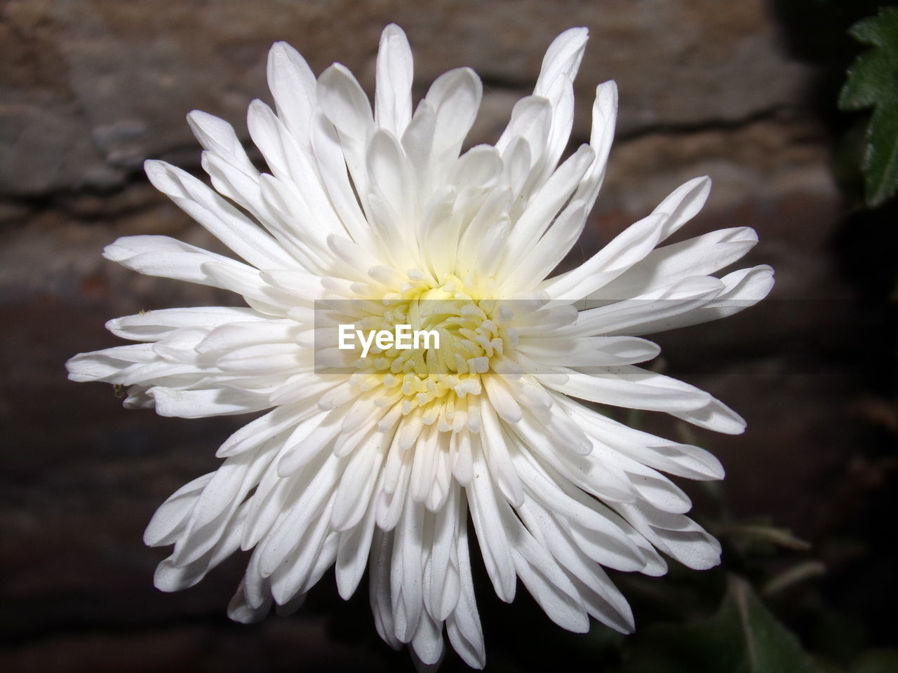 flower, petal, white color, nature, beauty in nature, flower head, growth, plant, fragility, close-up, focus on foreground, no people, freshness, blooming, outdoors, day