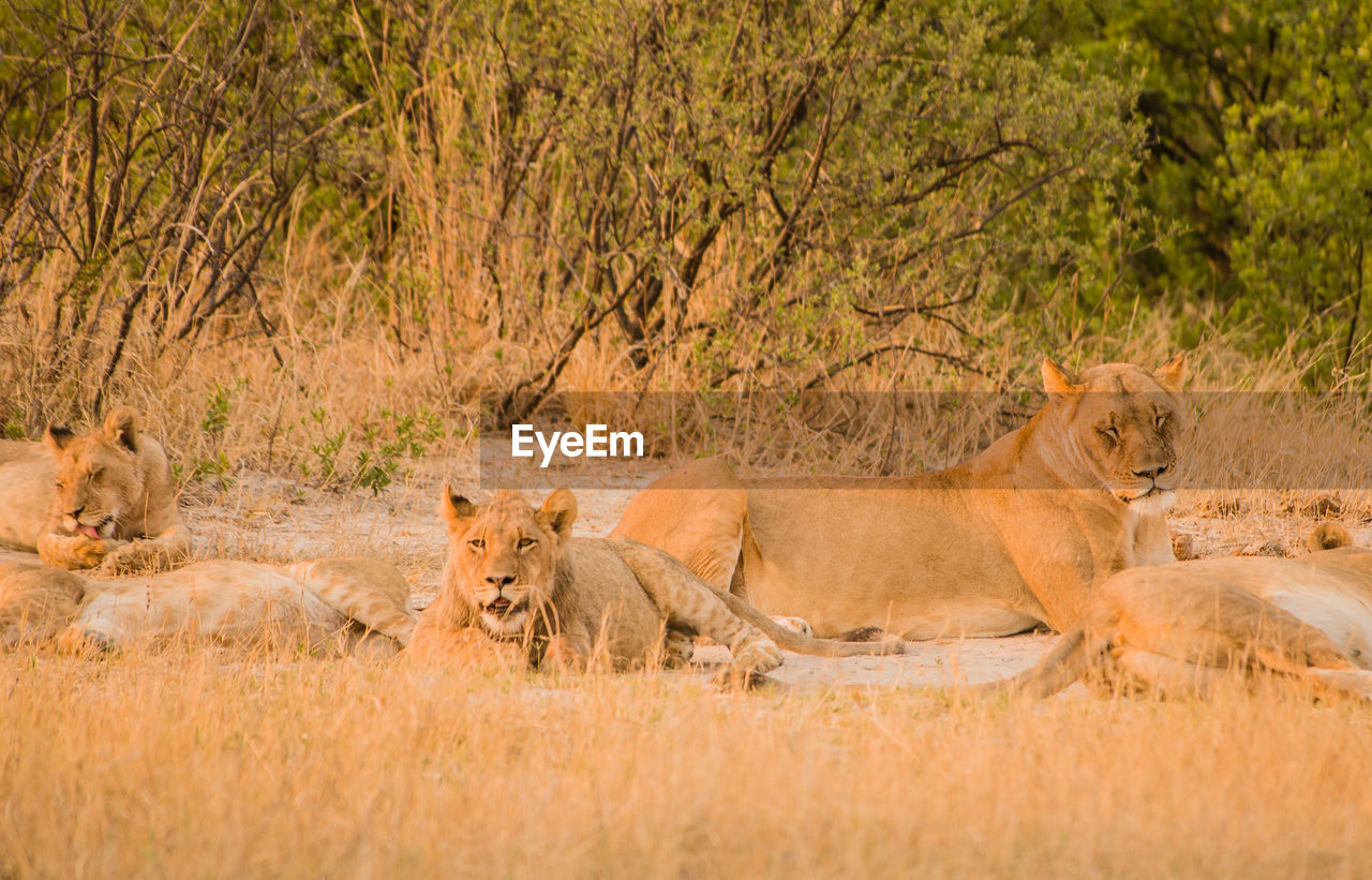 animal wildlife, animals in the wild, feline, mammal, lion - feline, animal themes, cat, animal, group of animals, no people, safari, vertebrate, female animal, lioness, grass, day, plant, nature, undomesticated cat, animal family, semi-arid
