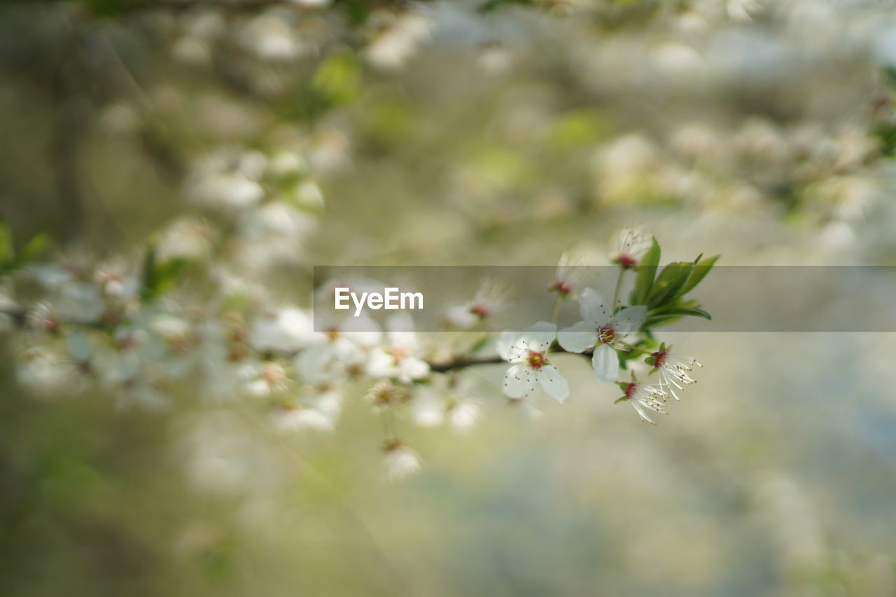growth, plant, flower, vulnerability, beauty in nature, fragility, flowering plant, freshness, selective focus, day, close-up, nature, no people, petal, outdoors, blossom, tree, springtime, tranquility, focus on foreground, flower head, cherry blossom