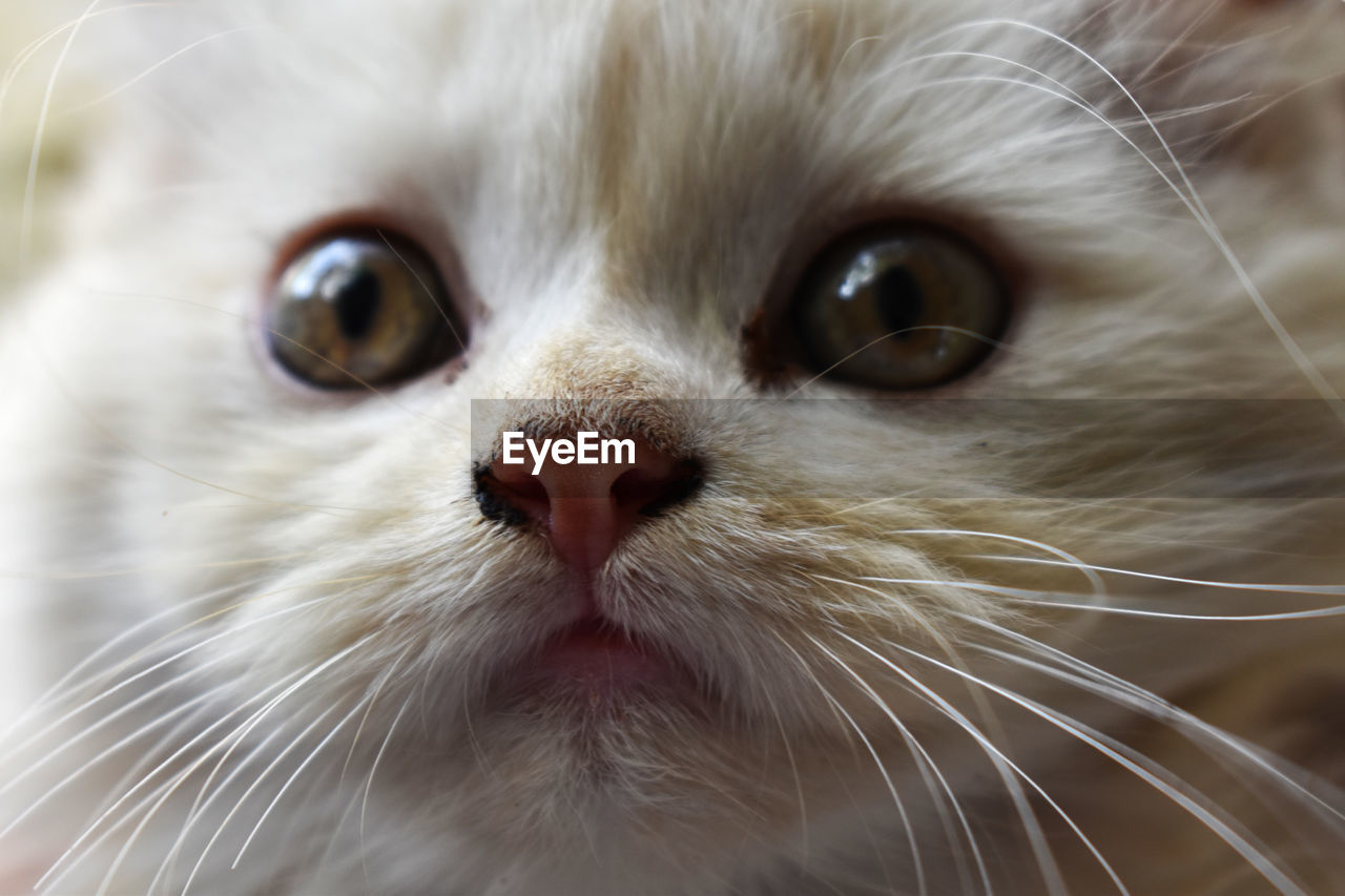 animal themes, animal, mammal, pets, domestic, one animal, domestic animals, vertebrate, close-up, cat, whisker, feline, animal body part, domestic cat, no people, looking at camera, portrait, animal head, focus on foreground, indoors, animal eye, snout, animal nose