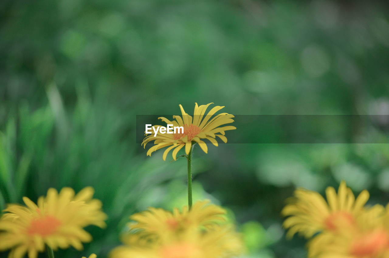 flower, flowering plant, fragility, vulnerability, plant, freshness, growth, beauty in nature, flower head, petal, inflorescence, yellow, close-up, focus on foreground, day, pollen, selective focus, nature, no people, botany, gazania