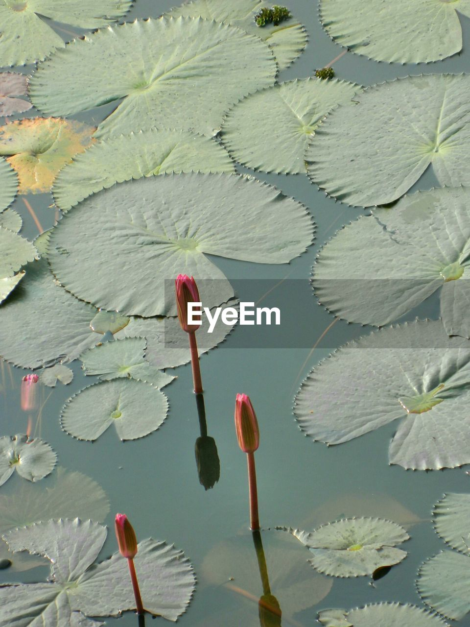 High Angle View Of Water Lily Bud Growing On Pond