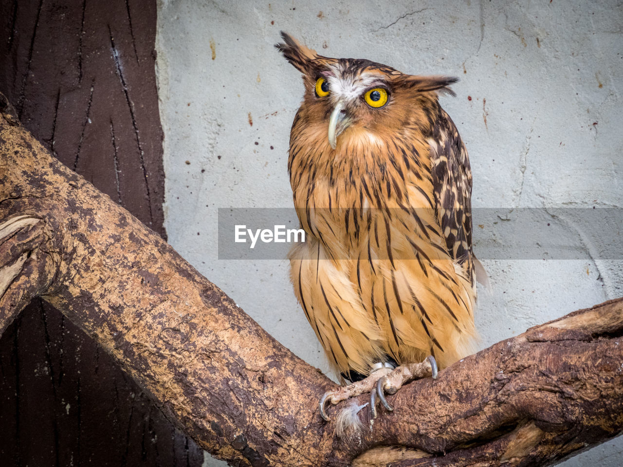 Buffy fish owl perching on branch against wall