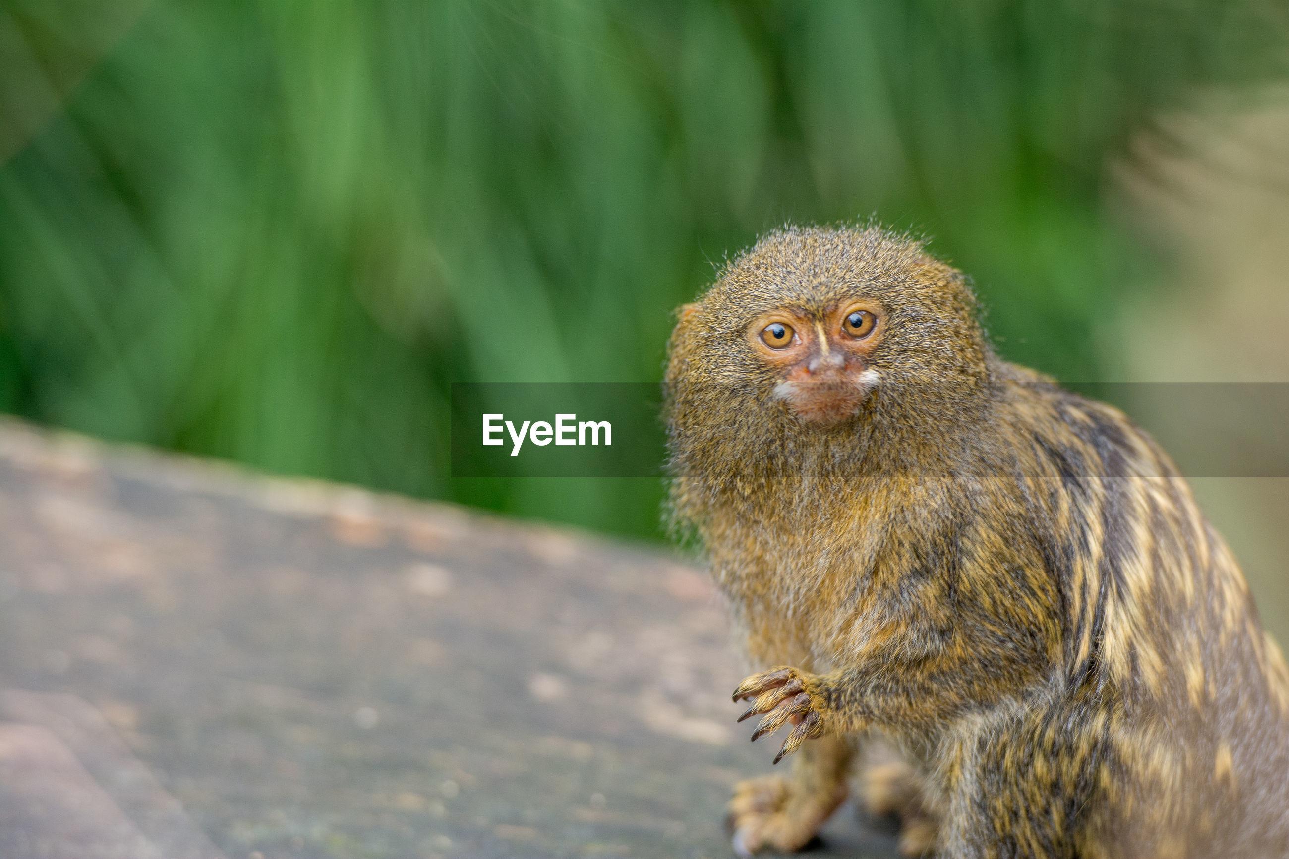 Close-up of a pygmy marmoset monkey