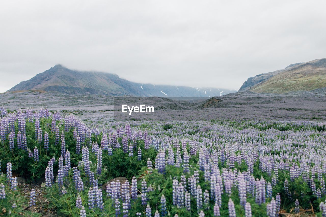 PANORAMIC VIEW OF FLOWERS AGAINST SKY