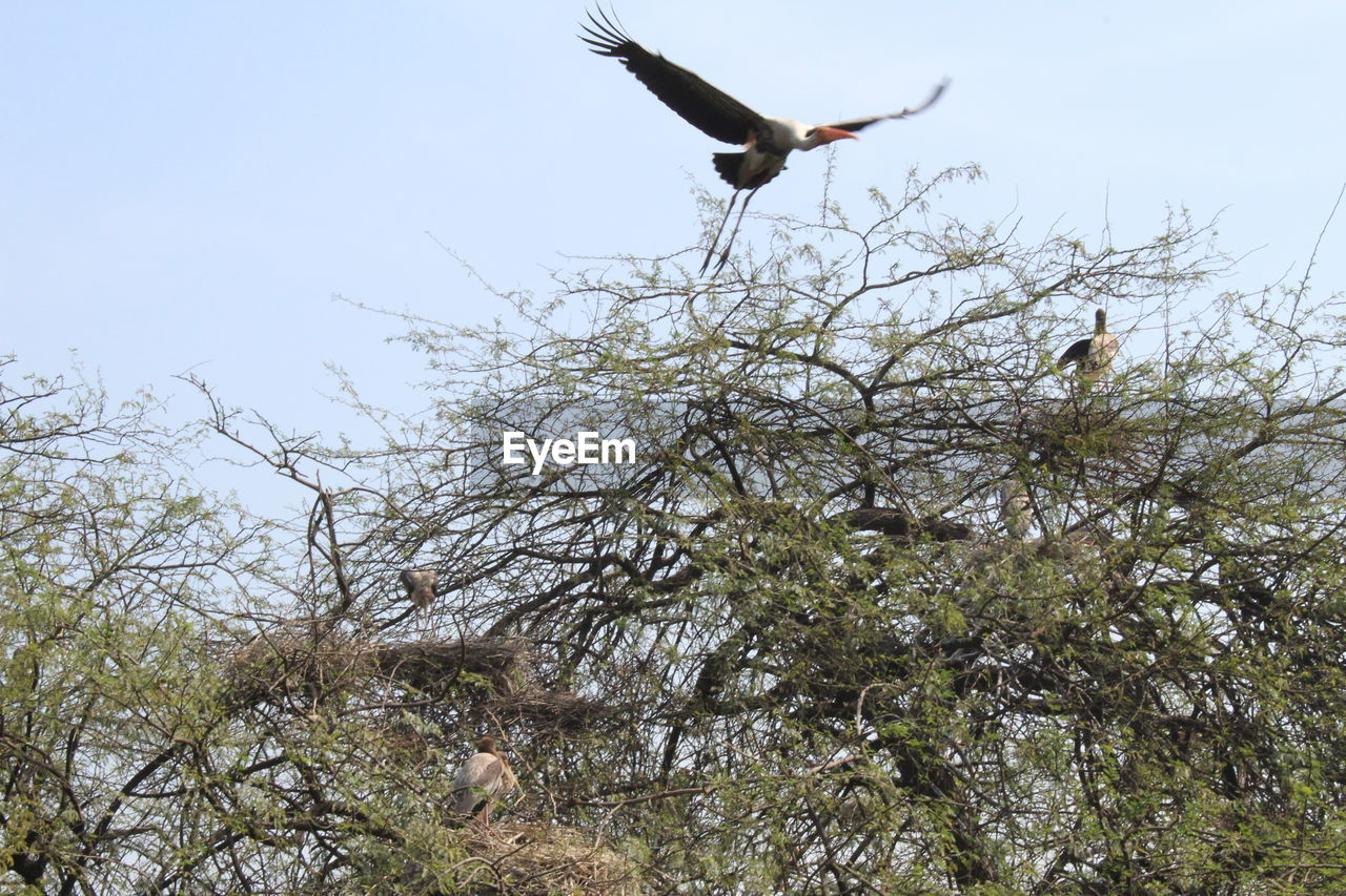 bird, animal themes, animals in the wild, one animal, animal wildlife, flying, spread wings, tree, mid-air, low angle view, nature, day, outdoors, no people, clear sky, beauty in nature, full length, branch, bird of prey, sky