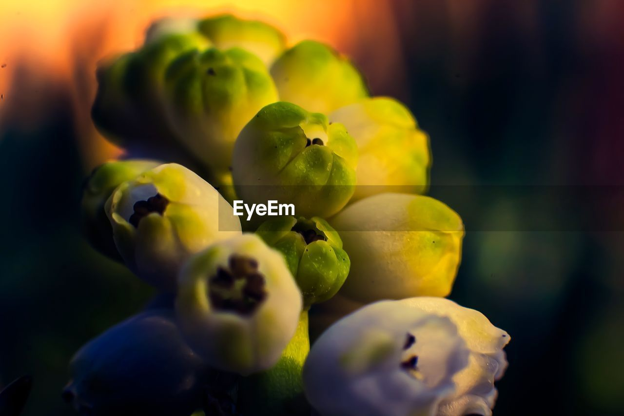 close-up, freshness, selective focus, green color, food and drink, no people, food, healthy eating, fruit, wellbeing, plant, focus on foreground, yellow, nature, day, growth, beauty in nature, still life, outdoors, full frame